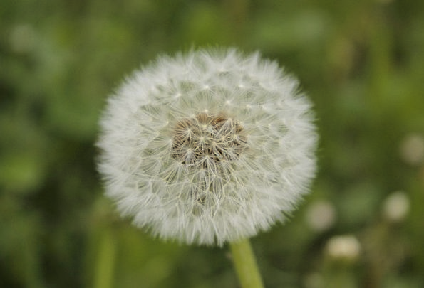 Ordinary Normal Pointed Flower Dandelion Dandelion