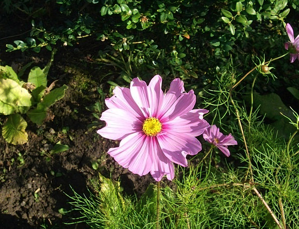 Pink Flushed Universe Flowers Plants Cosmos Day Ga