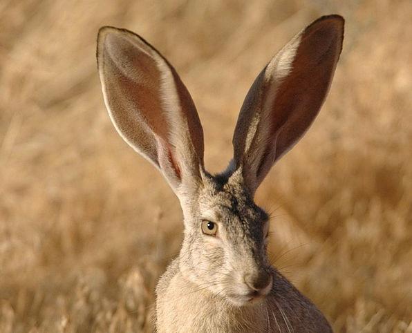 Californicus Jackrabbit Lepus Tailed Followed Faun