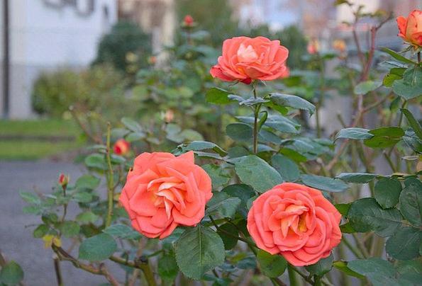 Roses Designs Landscapes Scrubland Nature Plant Ve