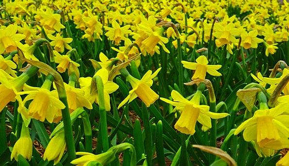 Daffodil Field Arena Narcissus Easter Plantation E