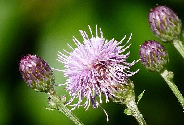Thistle Landscapes Weed Nature Flower Floret Wildf