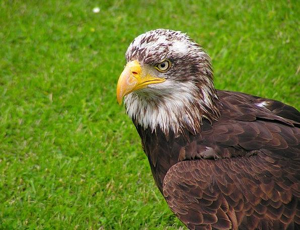 Bald Eagle Skull Mlá?? Head Predator Marauder Bird