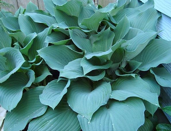 Hostas Landscapes Nature Shade Plants Blue Hostas