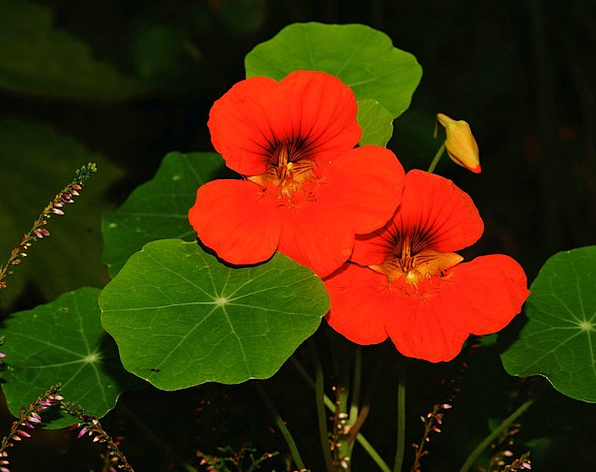 Nasturtium Floret Ranke Flower Bright Small Flower