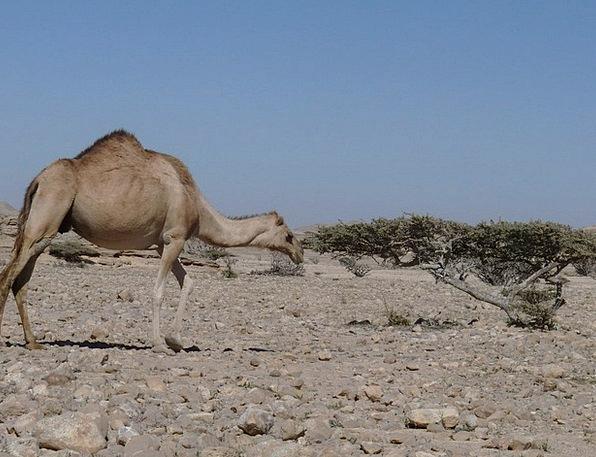 Camel Beige Arabia Oman Scree Asia Incense Desert
