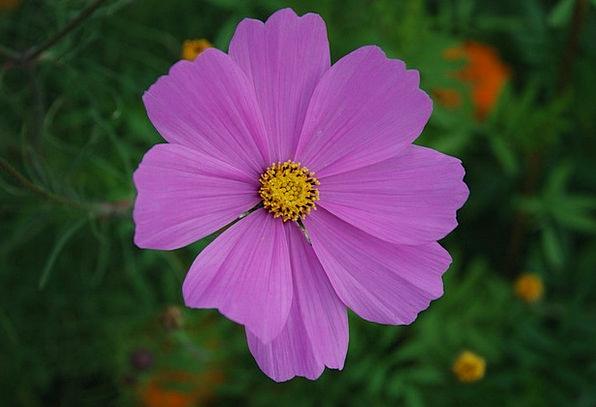 Cosmos Universe Landscapes Floret Nature Pink Flus