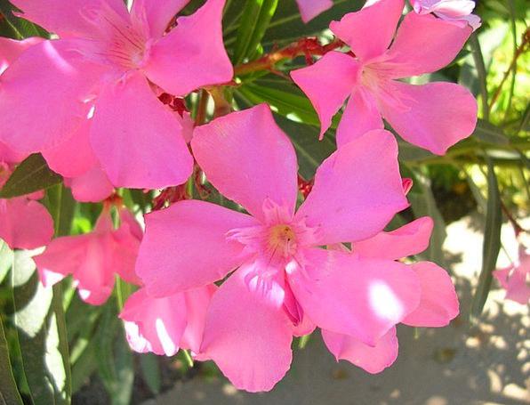 Flower Floret Plot Flowers Plants Garden Pink Flus
