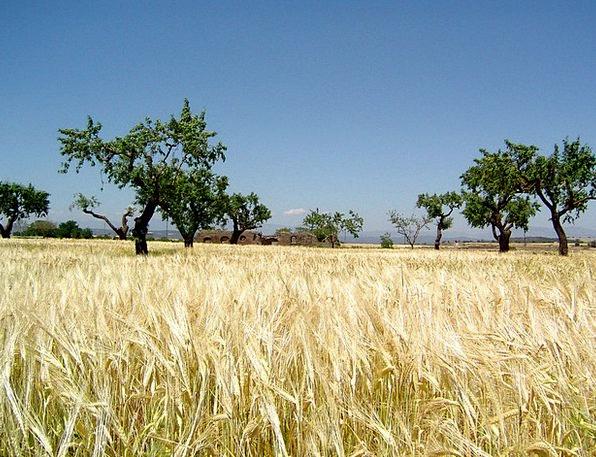Grain Field Grassland Veld Savannah Barley Field A