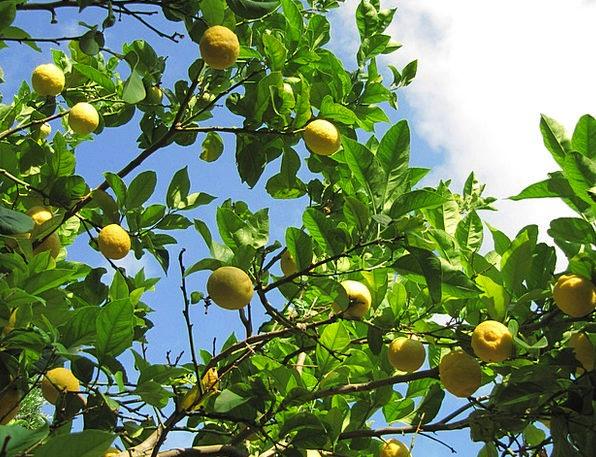 Lemons Duds Drink Ovary Food Citrus Fruit Citrus F