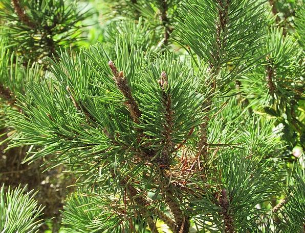 Pine Long Landscapes Nature Plant Vegetable Conife