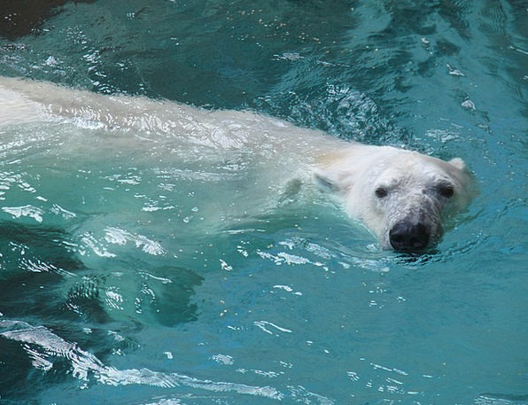 Polar Bear Menagerie Bear Tolerate Zoo Endangered
