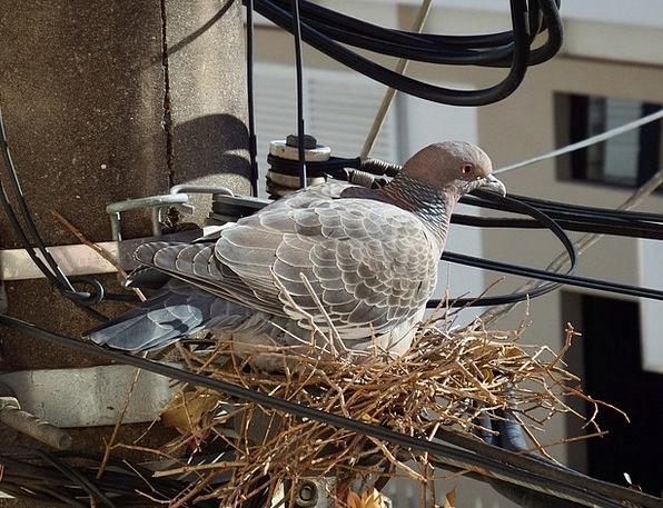 Bird Fowl Mark Pigeon Nest Pigeon Birdie Dove Paci