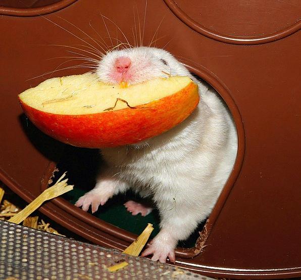 Hamster Drink Bother Food Impeller Eat Healthy Sof