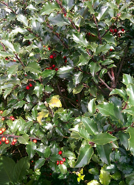 Holly Landscapes Nature Outdoor Outside Berries Re