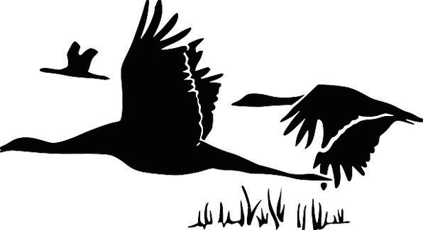 Swans Wanders Outline Black Dark Silhouette Cygnus