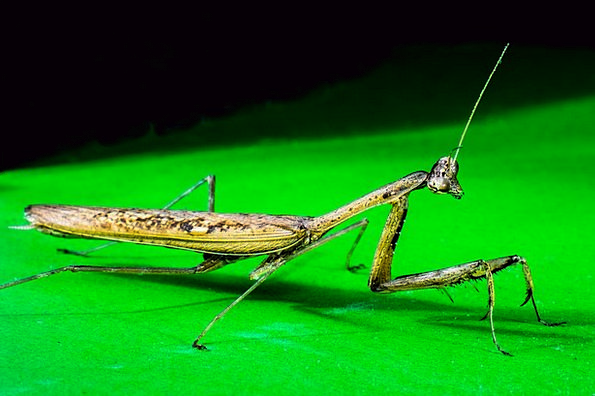 Praying Mantis Close Near Fishing Locust