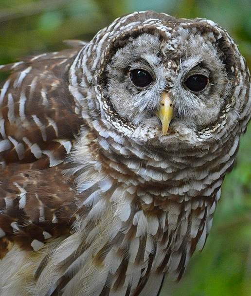 Barred Owl Landscapes Nature Nature Countryside Ow