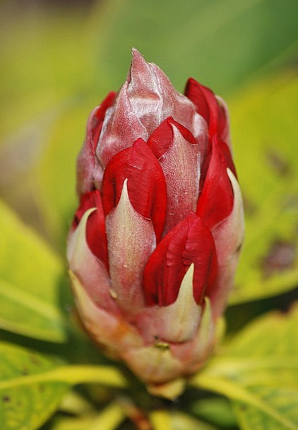 Rhododendron Bloodshot Bud Sprout Red Evergreen Im