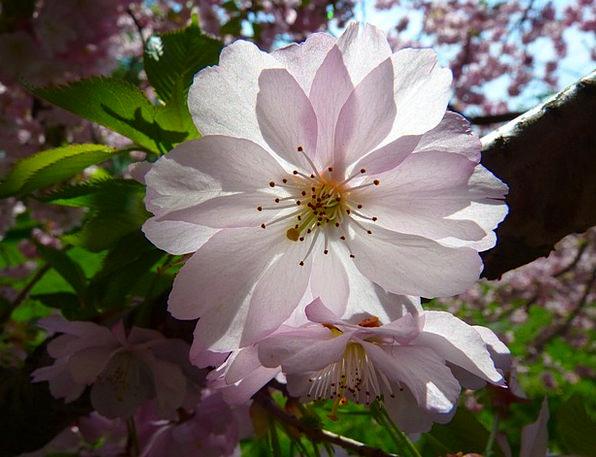 Japanese Cherry Trees Floret Cherry Blossom Flower