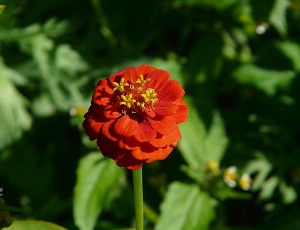 Zinnia Landscapes Nature Flower Floret Zinnia Viol