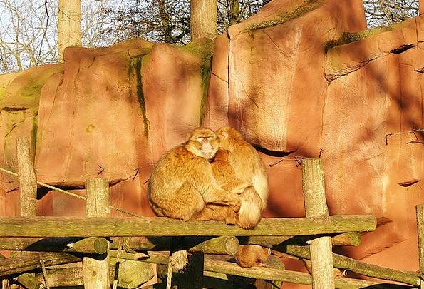 Barbary Macaque Ape Mammal Creature Monkey Nature