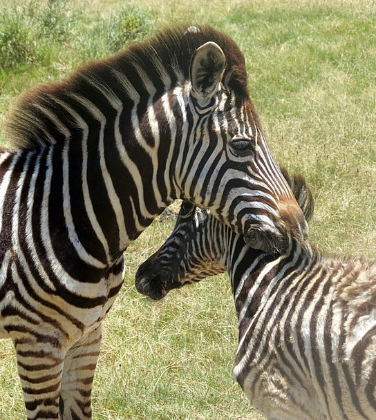 Zebras Physical Mammal Creature Animal South Afric