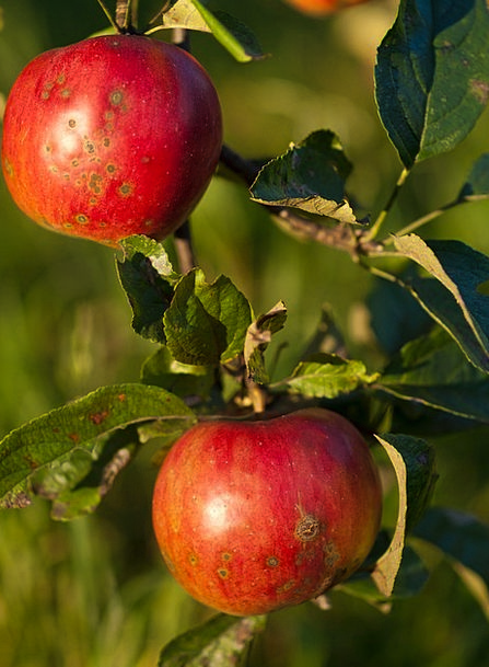 Apples Drink Groups Food Red Bloodshot Collections