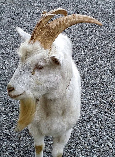 Goat Snowy Animal Physical White Domestic Farm Far