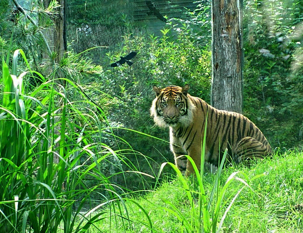 Tiger Feline Big Cat Cat Cat Face Animal Zoo Physi