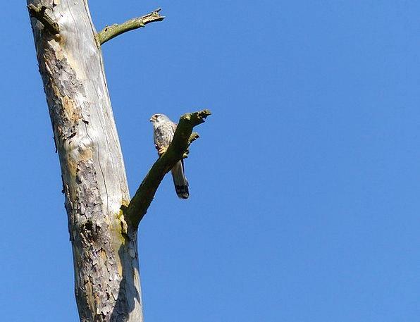 Bird Fowl Raptor Falcon