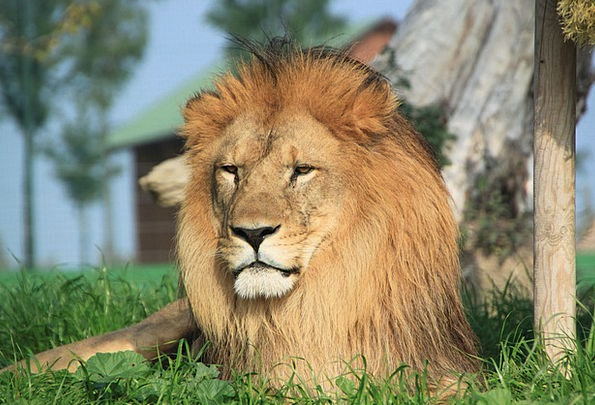 Leo Physical Savannah Grassland Animal