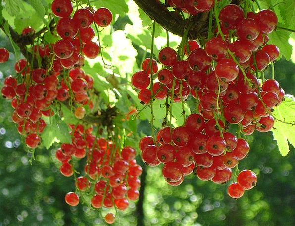 Red Currant Drink Food Ribes Rubrum Currant Ribes