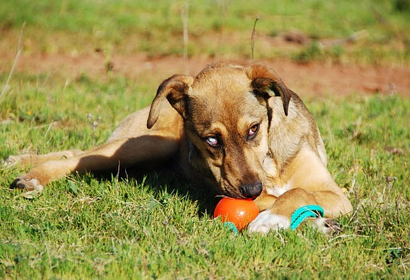 Dog Canine Brat Young Dog Puppy Hybrid Cross Black