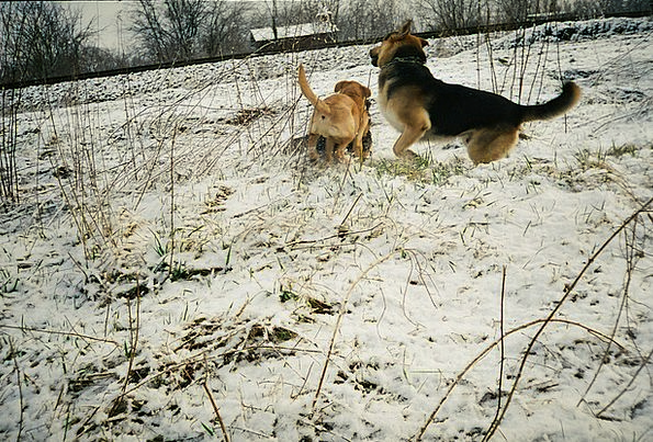 Dogs Playing Canines Playing In The Snow Dogs Play