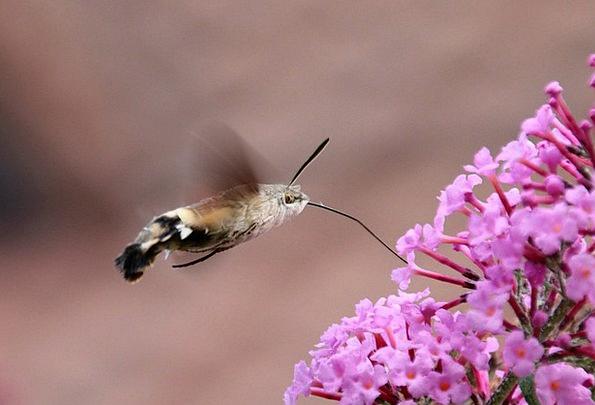 Hummingbird Hawk Moth Insect Bug Butterfly Animal