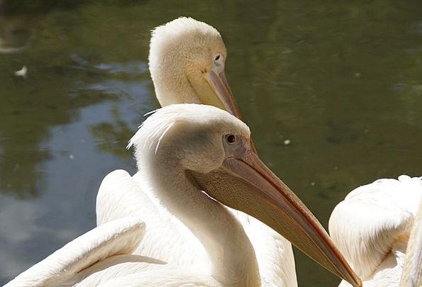 Pelikan Skull Close Near Head Animals Bird Fowl Bi