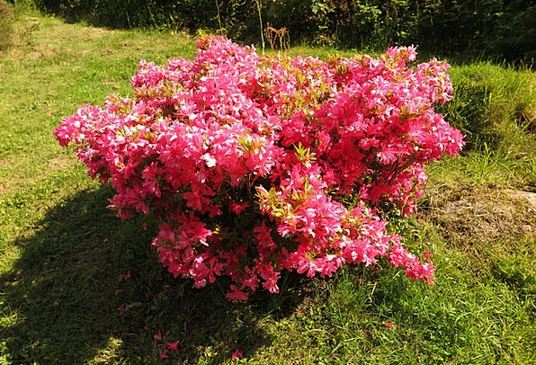 Rhododendron Landscapes Flushed Nature Bush Scrubl