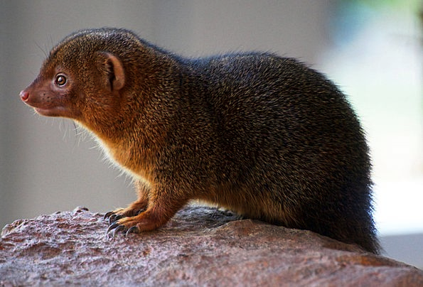 Zwergmanguste Landscapes Nature Rodent Nager Cute