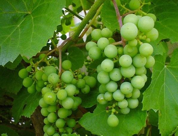 Grapes Drink Food Grape Stock White Grapes Vine Cr