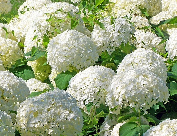 Flowers Plants Increase Bush Scrubland Snowball Wh