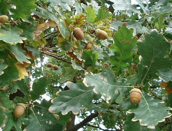 Oak Acorns Oak Leaves Leaves Greeneries