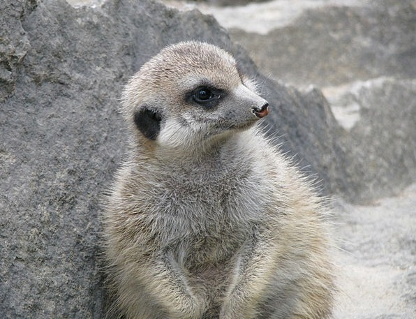 Meerkat Physical Nature Countryside Animal Mammal