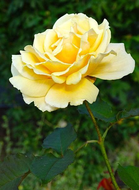 Rose Design Flower Floret Rose Bloom Yellow Creamy
