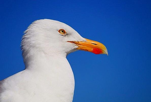 Seagull Fowl Animal Physical Bird Bill Water Bird