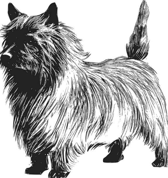 Terrier Canine Pet Domesticated Dog Purebred Cairn