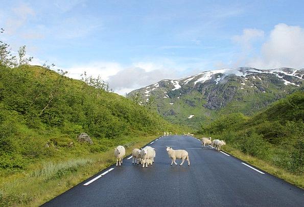 Sheeps Traffic Street Transportation Mountains Cra