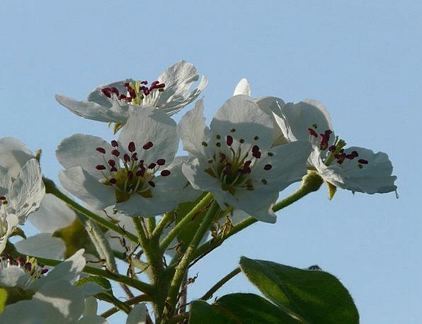 Pear Blossom Flower Floret Pear Bloom White Back L