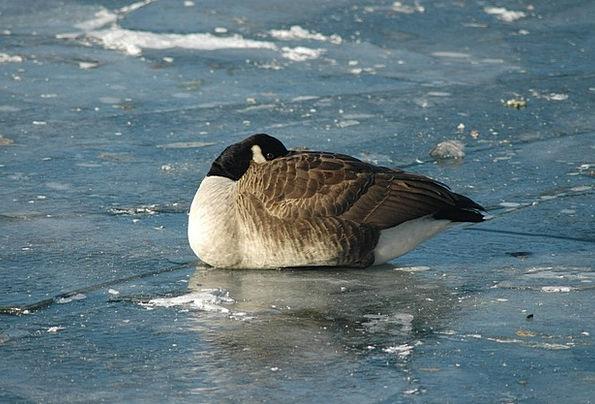 Animals Faunae Fowl Goose Goose Bird River Stream