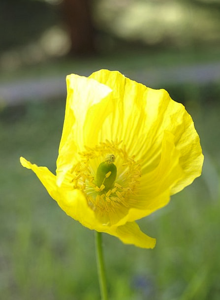 Poppy landscapes creamy nature flower floret yellow wild poppy landscapes creamy nature flower floret yello mightylinksfo